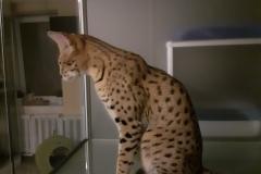 serval_